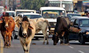 Indien – Vad händer med alla gamla, sjuka och skadade kor man ser?