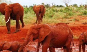 Kenya: Tillbaks till Kenya och Taita Hills – Röda elefanter och baobabträd