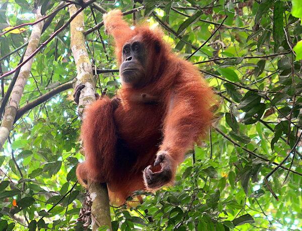 Indonesien – Bukit Lawang på Sumatra – Orangutang spotting