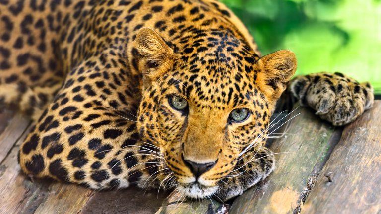 bild på en tiger som vilar